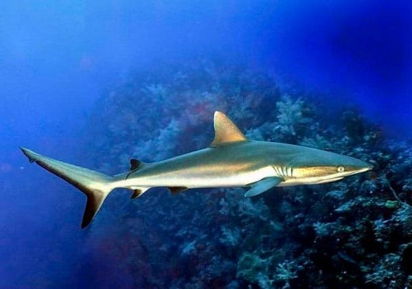 черноплавнічая акула