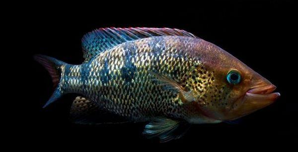Риба Пачу