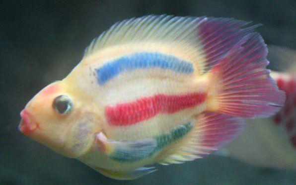 Папига риба