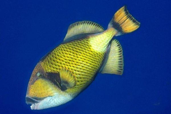 активна риба