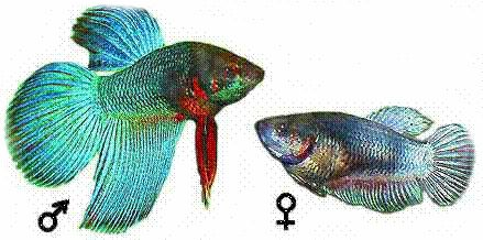 рибка півник самець самка