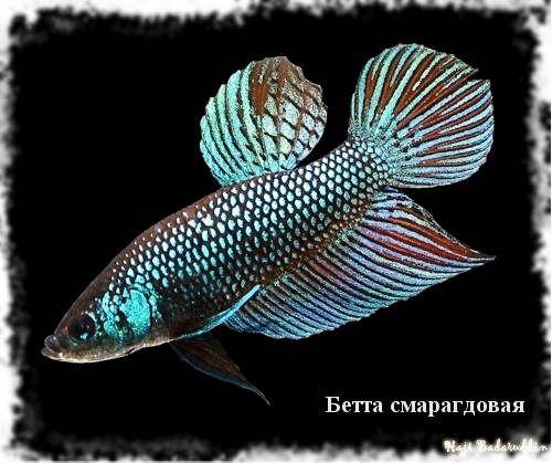 бета види рибка