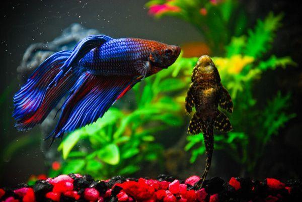 Съвместимост на риба петел в общ аквариум.