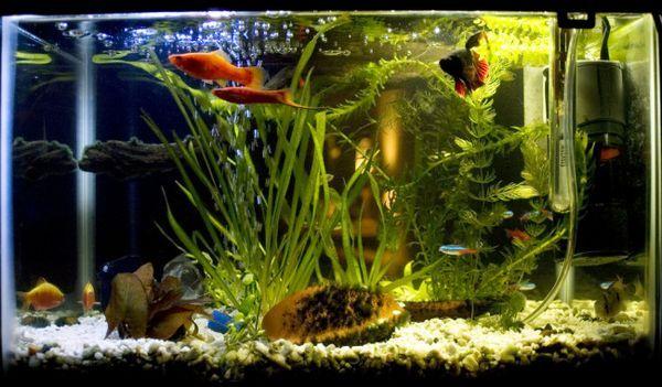 Съвместимост на риба петел с други риби.