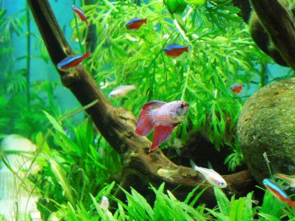 Петел и тетра риби в един аквариум.