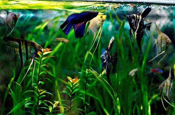 Angelfish и Betts.