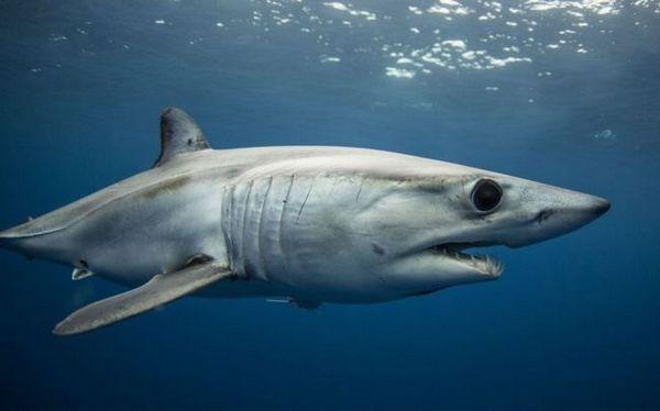 Фотографија од ајкула Мако