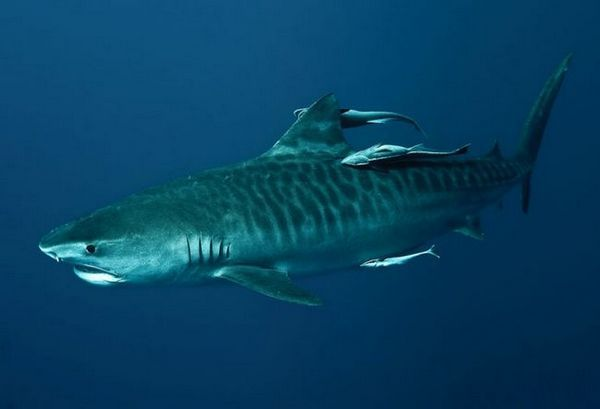 Фотографија на тигар ајкула
