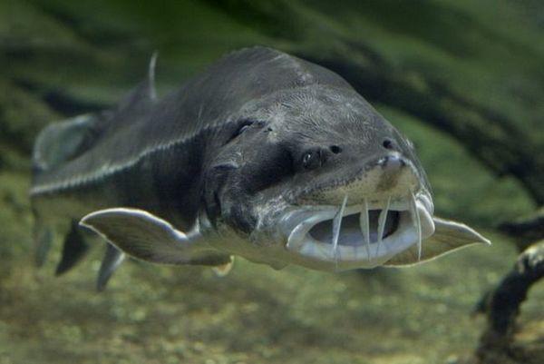 Фотографија од риба Белуга