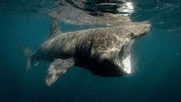 Фотографија на џиновска ајкула