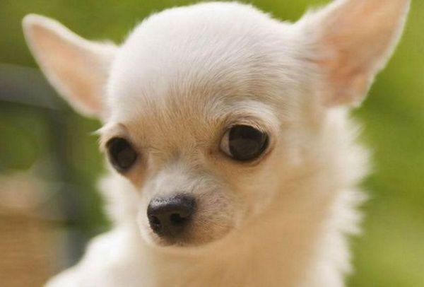 Най-малкото куче - чихуахуа