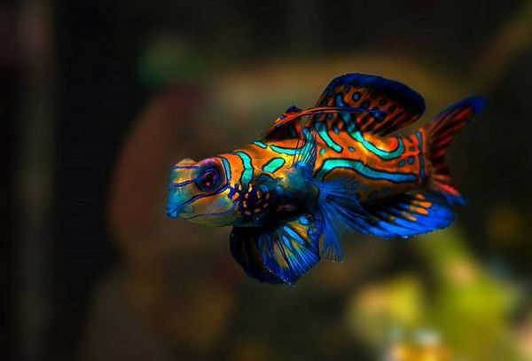 мандаринка рибка