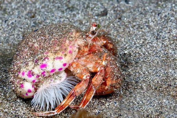 Симбиозата на раците-отшелници и морския анемон: взаимноизгодно съвместно съществуване
