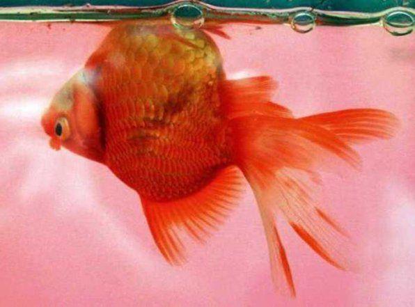Перші симптоми захворювання риб