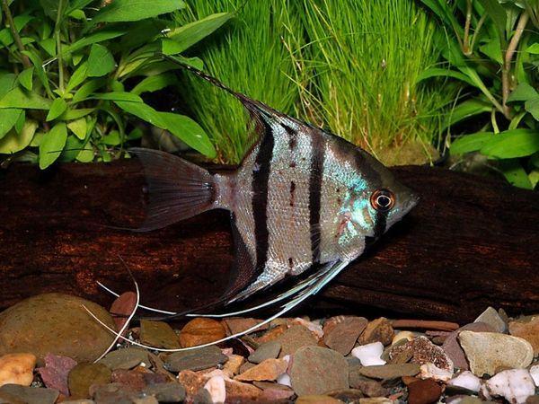 Rybár Leopold.