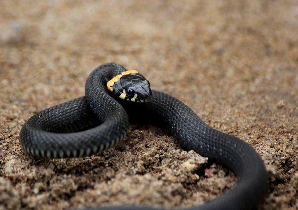 змијата