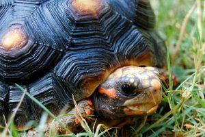 Колко костенурки живеят у дома