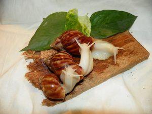 Ile ślimaków żyje Achatina