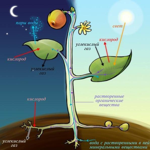 Respirația plantelor de acvariu