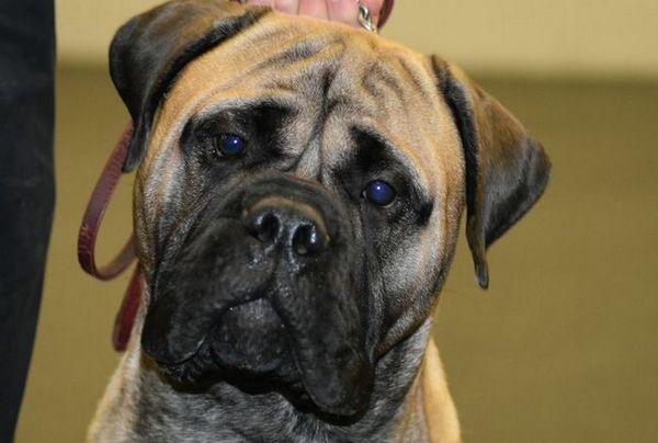 Куче ловец - булмастиф