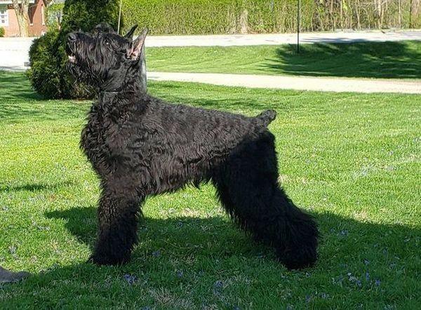 Гигантско куче шнауцер