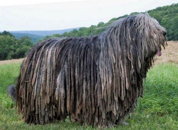 Куче в дрехи - бергамо пастир