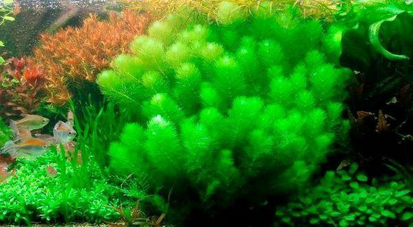 Zawartość aromatów limnofilnych rośliny wodnej