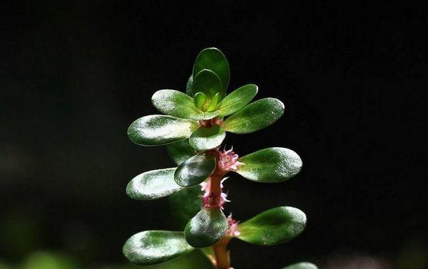 Zawartość rośliny akwariowej rotala indica (rotala indica)
