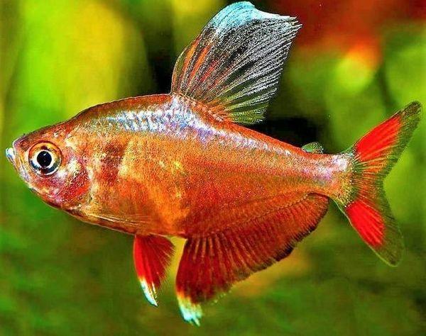 Ryba czerwona Ornatus