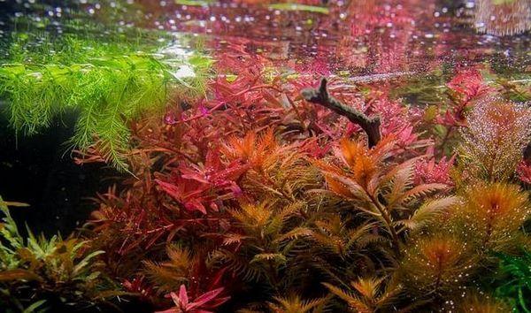 Proserpinaki palustris bagno zawartość roślin
