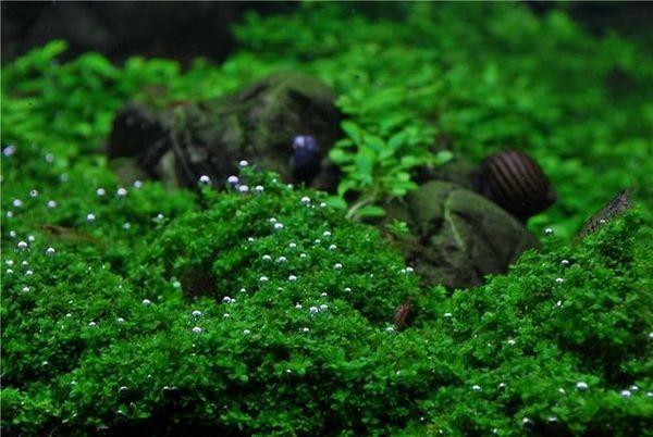 Zawartość kostek chemanthus w akwarium: jak sadzić roślinę