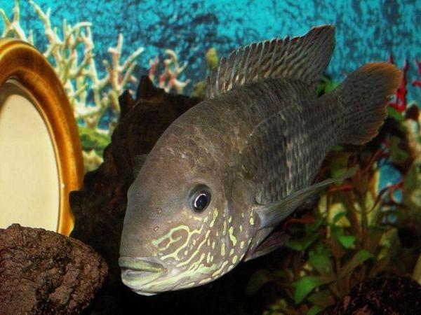 turkusowa ryba