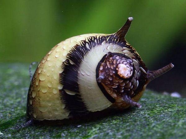 Theodoxus aquarium snail údržba a reprodukce