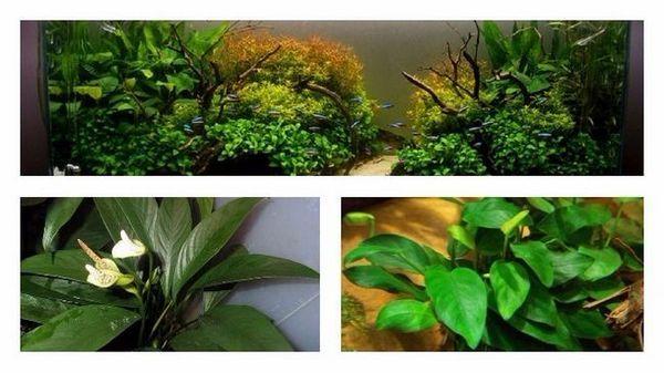 Utrzymanie i hodowla anubias nana i innych gatunków roślin