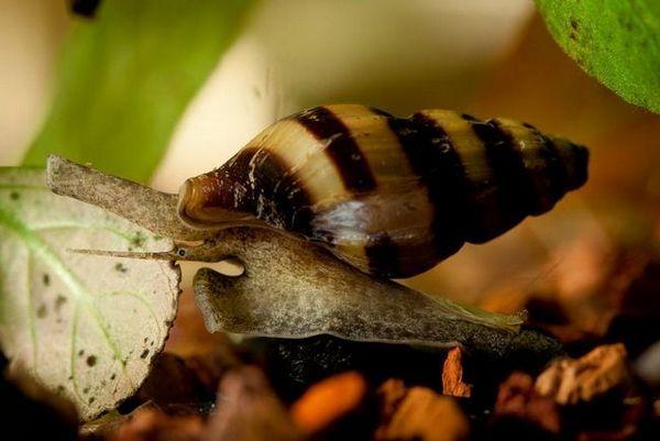 Одржување и одгледување во аквариумот на грабливи полжави хелена