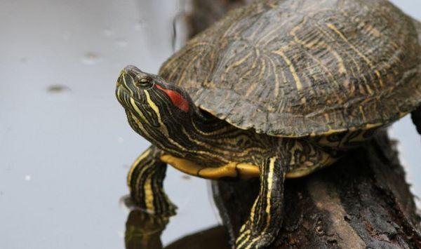 Съдържание на червеноушата костенурка в домашния аквариум