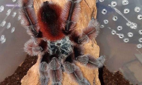 тераријумски паук