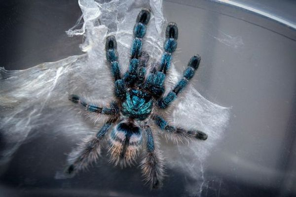 паук авицулариа версицолор исхрана
