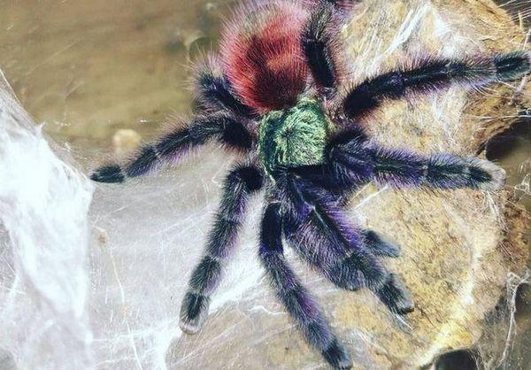 цоцоон паук