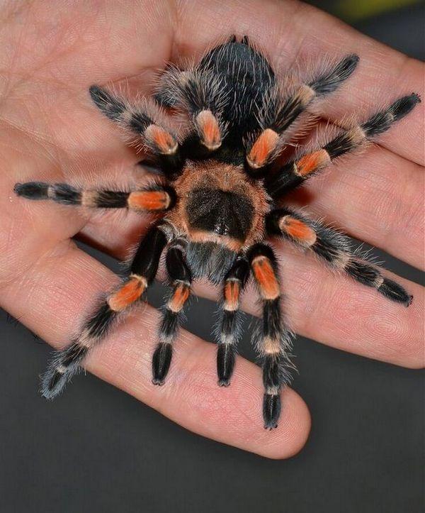 Садржај вагана тарантула спидер брацхипелма код куће