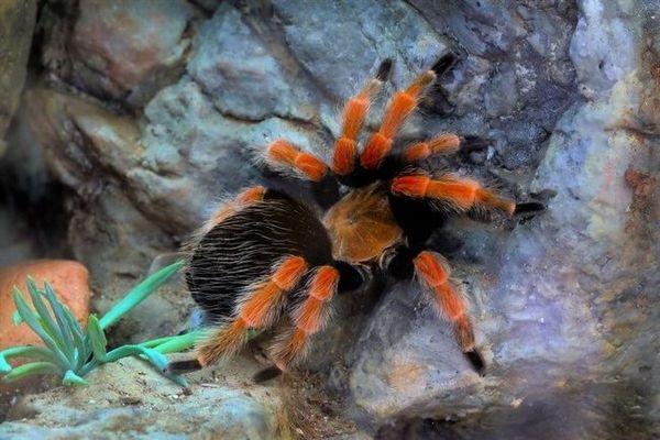 Meksykańska hodowla pająków