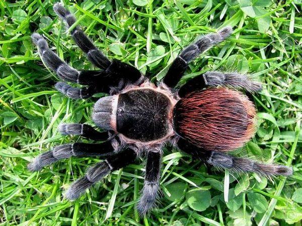 Meksykański rudy pająk ptaka
