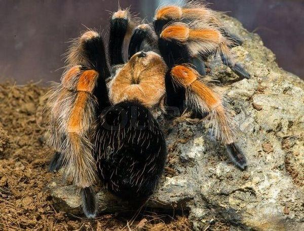 Czerwony meksykański pająk