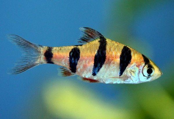 Красива риба от семейство шаран.