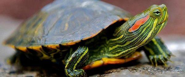 Съдържанието на водна костенурка с червени уши у дома