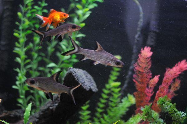 Золота рибка в загальному акваріумі.