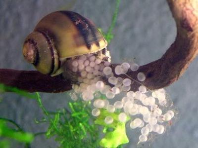 melc picant caviar fotografie