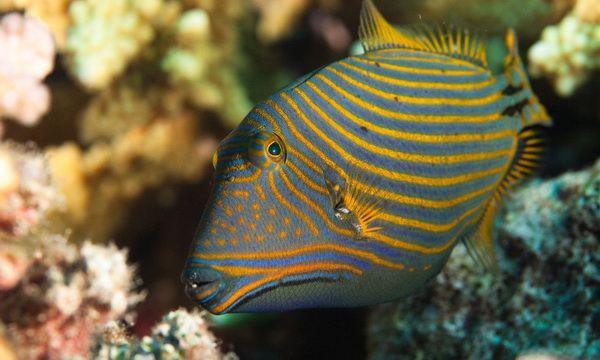 Triggerfish orange-striped.jpg