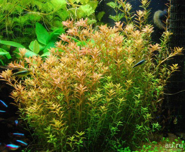 Rotala indian