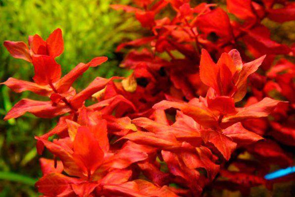 Rotala macrandra red